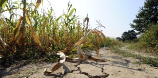 drought-in-corn-field