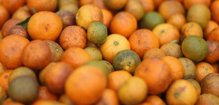Citrus Greening Diseases Threatens Florida's Orange Industry