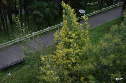 le mimosa fleurit !