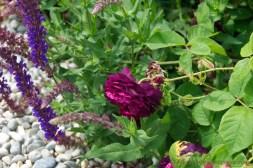 rosa gallica Ombree Parfaite and salvia nemorosa