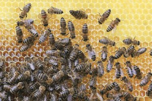local-honey-bee-removal-albuquerque-a16-505-500-4780