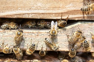 local-honey-bee-removal-albuquerque-a22-505-500-4780