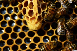 local-honey-bee-removal-albuquerque-a34-505-500-4780