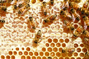 local-honey-bee-removal-albuquerque-a4-505-500-4780