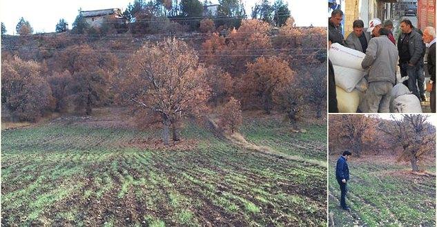 Çamoluk'ta 300 Dekar Alana Siyez Buğdayı Ekildi