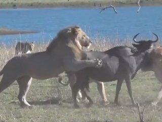 Aslan ailesinin antilop avı