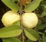 السعودية تحظر استيراد الجوافة المجمدة من مصر مؤقتا
