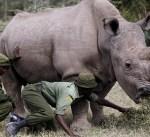 نفوق آخر ذكر من وحيد القرن الأبيض في العالم