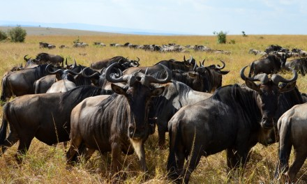 17 things you did not know about the wildebeest