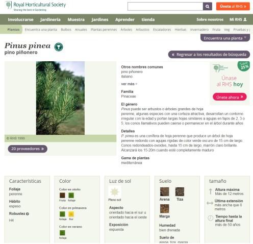 RHS pinus pinea