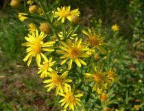Olivarda (Dittrichia viscosa). Una especie de planta fanerógama, pertenece a la familia asteraceae, y ofrece sus delicias a nuestros invitados.