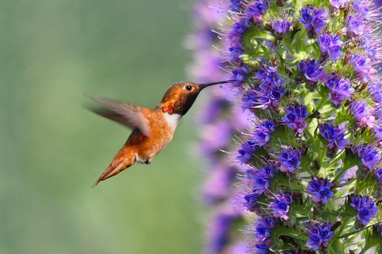 El néctar más delicioso para el colibrí mas bonito.