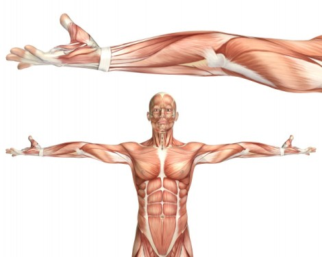 Músculos sin sarcopenia