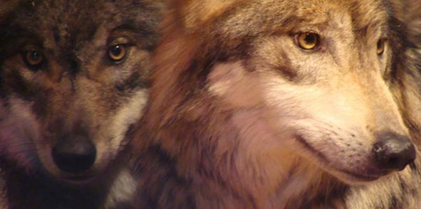 lobo-cabellos