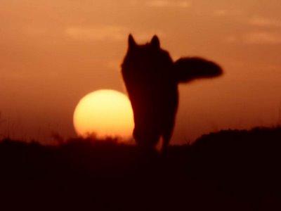 lobo-fuego