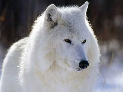 lobo_blanco