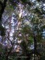 Bosque de Kauris