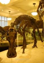 Fosil dinosaurio Museo americano de Historia Natural, Nueva York. fossil, Museum, history, New