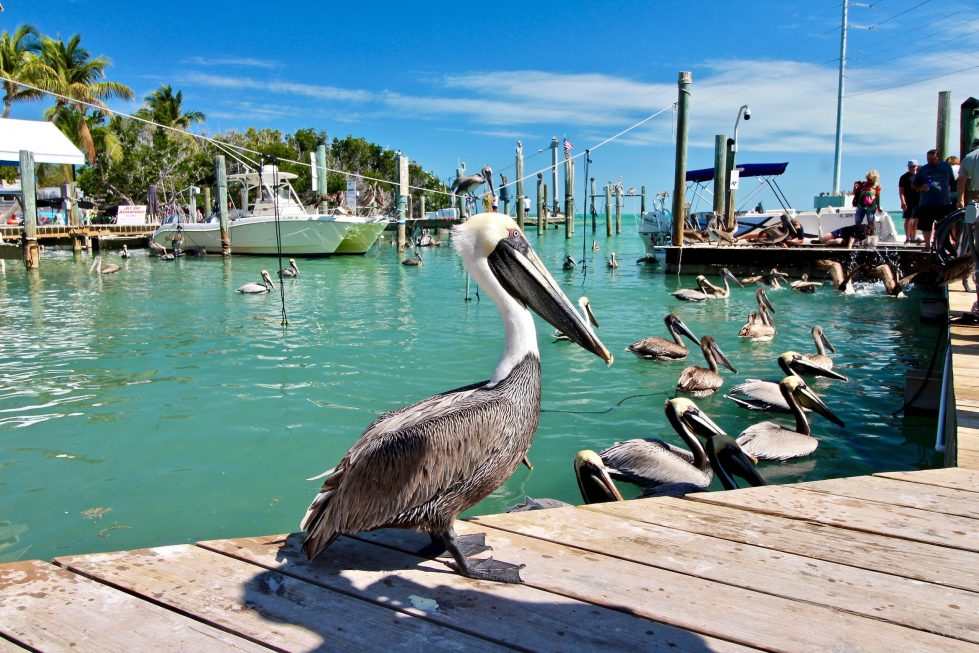 A pelican standing on a pier in a marina, with dozens of pelicans in the water in the background.