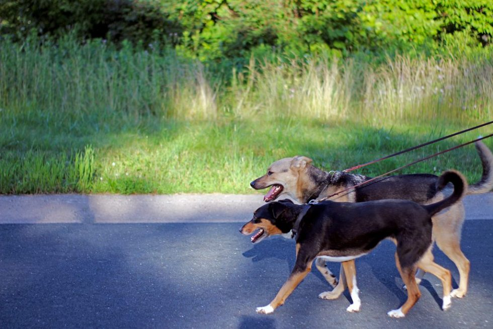 Two shepherd dogs walking on leash in the street next to a field of tall grass.