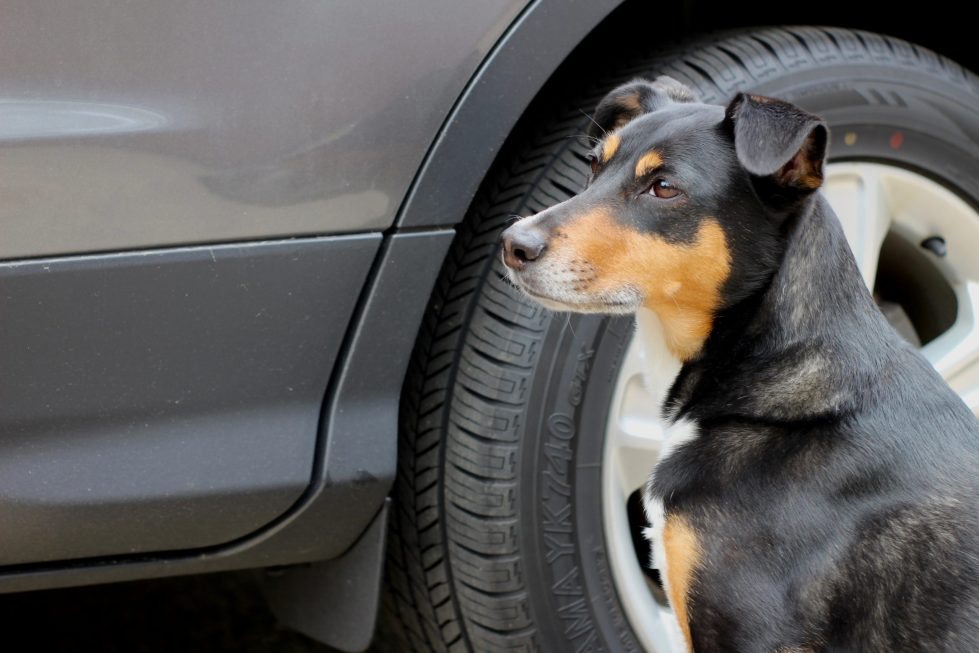 Black and brown dog sitting next to the wheel well of a gray car.