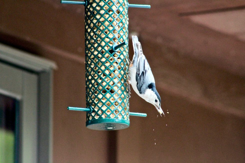 A nuthatch eating a suet ball while perched upside down on a tube feeder.