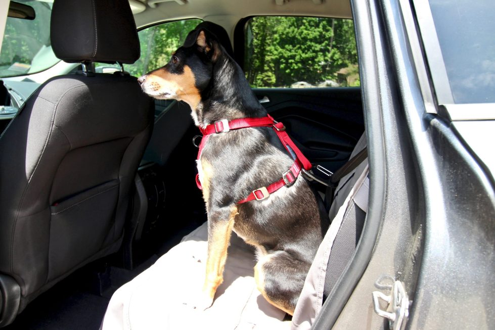 Dog sitting in rear seat of car, wearing a red safety harness.