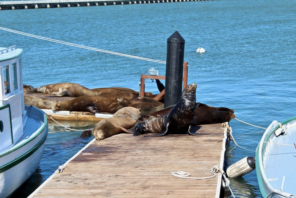 Sea lions lounging in the sun on the pier at Fisherman's Wharf.