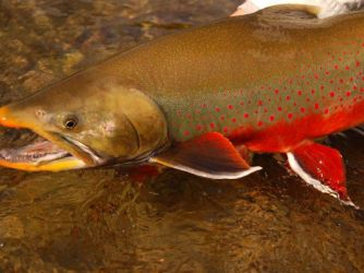 A beautiful Alaskan char in full spawning colors caught by a fly fisherman