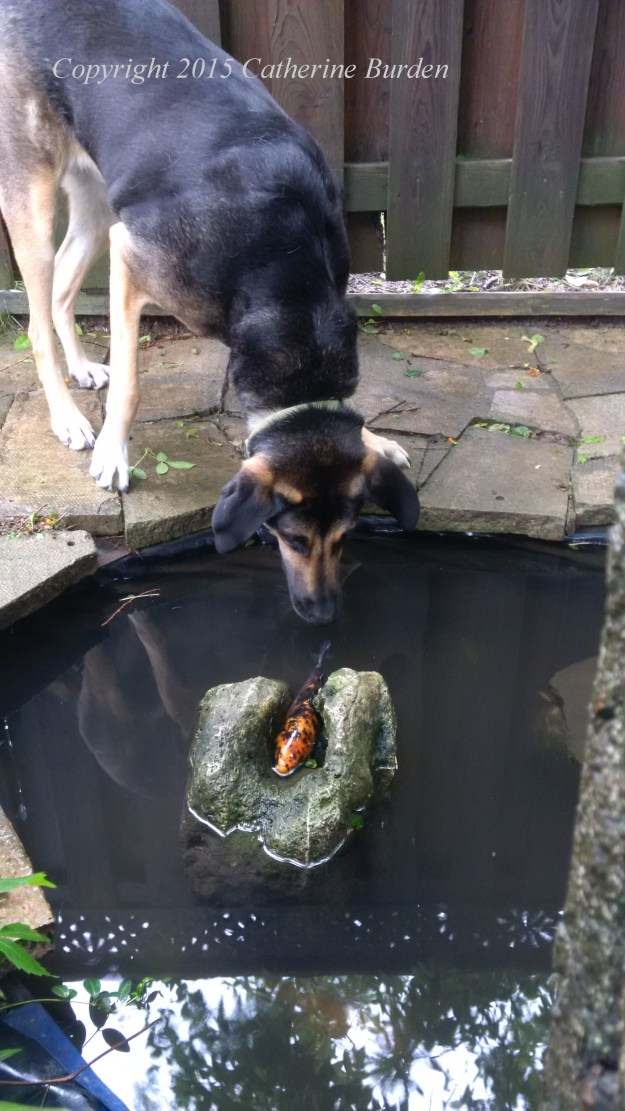 Our dog Bear looking at the fish in the pond