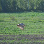 Sandhill Crane in flight_3