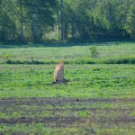 Sandhill Crane flight_4