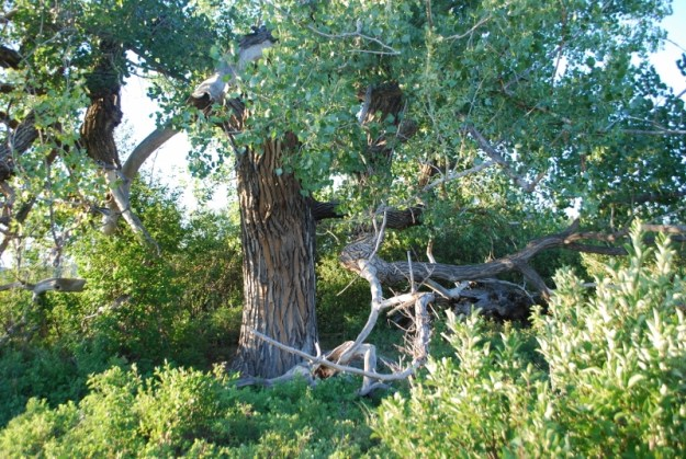 A cottonwood tree