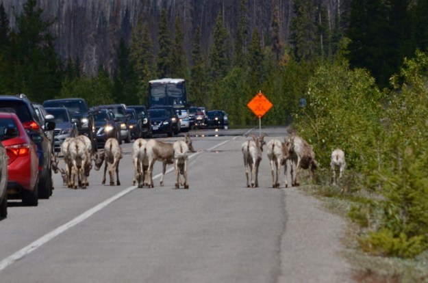 Bighorn sheep on the roadway