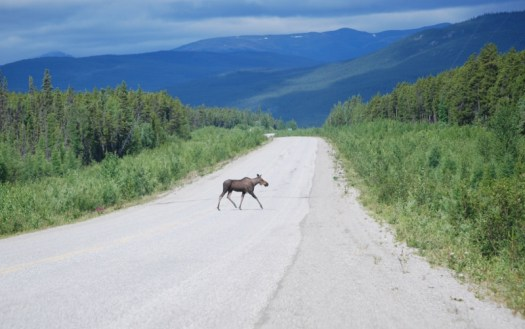 Another highway, another moose