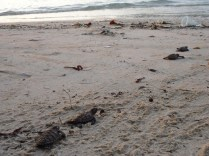 Turtle hatchlings making their way to the water!