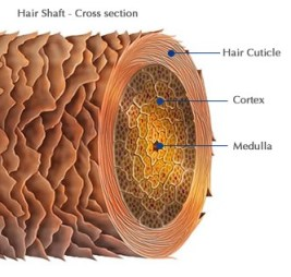 Example Cross Section Of A Hair Follicle And How The Hair Follicle Becomes Contaminated For A Hair Drug Test.