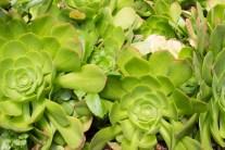 Green Succulunt