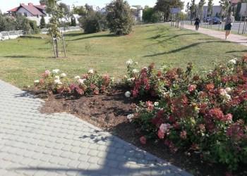 Tarp gėlių vagių Baltosios rožės mieste populiariausios - ne rožės, o šluotelinės hortenzijos