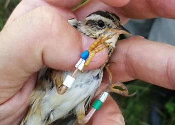 Žuvinte apsistojusi meldinė nendrinukė - vienintelė Europos žvirblinių rūšis, kuri priskiriama prie globaliai nykstančių rūšių paukščių, todėl įrašyta į Lietuvos raudonąją knygą