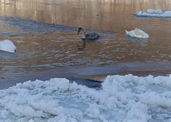 Gulbių pora mažąjį savo gulbiuką Nemuno upėje ties Alytumi paliko vieną. Z. Stankevičienės nuotr.