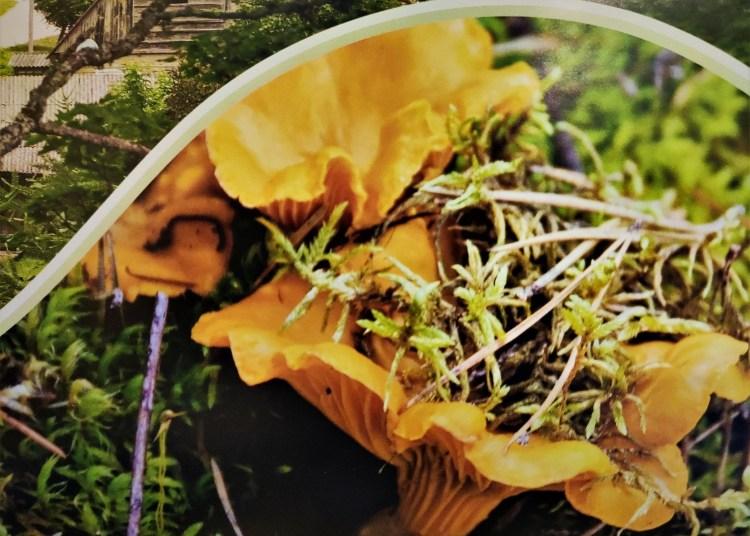 Valgomoji voveraitė. Iliustracija iš Dzūkų kalendoriaus