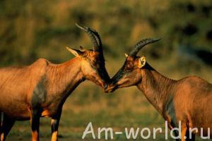 Кочующая антилопа топи