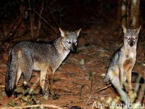 Майконг - может собака, а может лисица