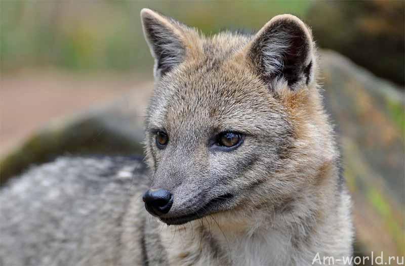 Майконг — может собака, а может лисица