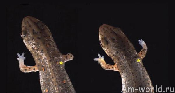 Саламандра - уникальный механизм регенерации