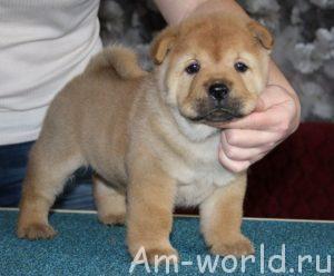 Чау-чау - мохнатый пес