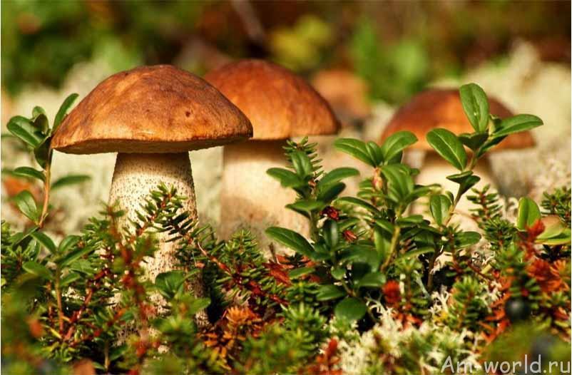 Картинки по запросу лес грибы