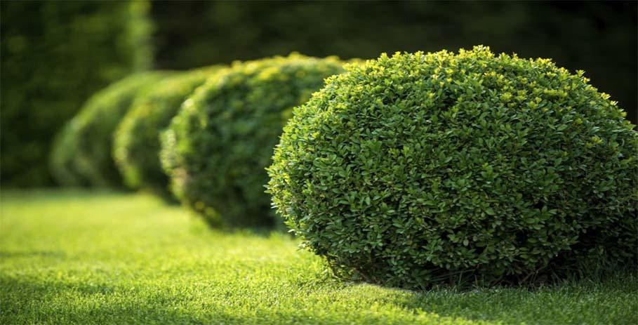 Самшит - вечнозеленый долгожитель