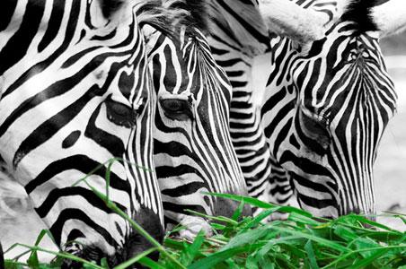 Маскировка животных или почему зебры полосатые?